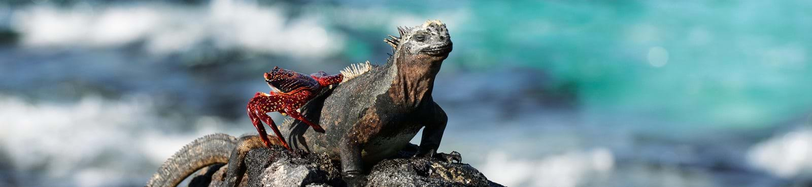 Iguana, Galapagos, Wildlife, Endemic