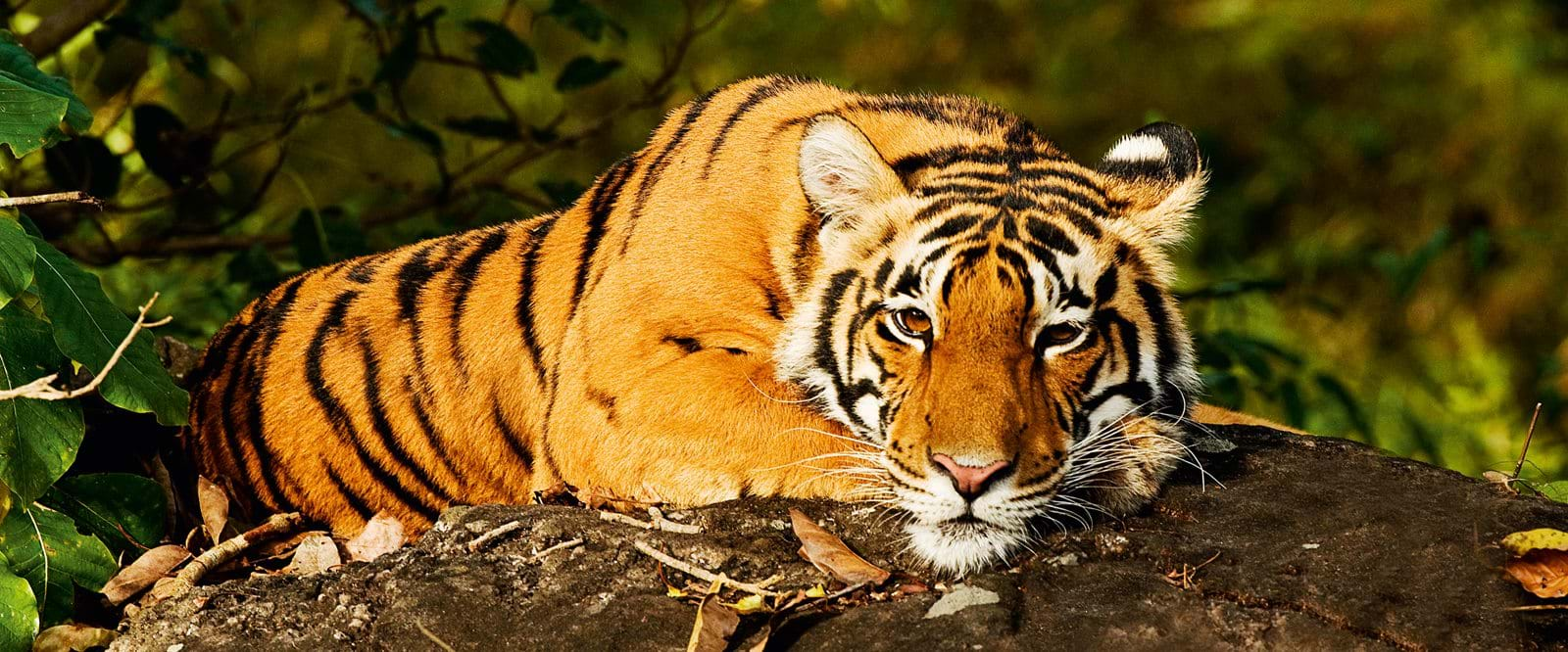 Tiger, Tiger safari, Wildlife, India