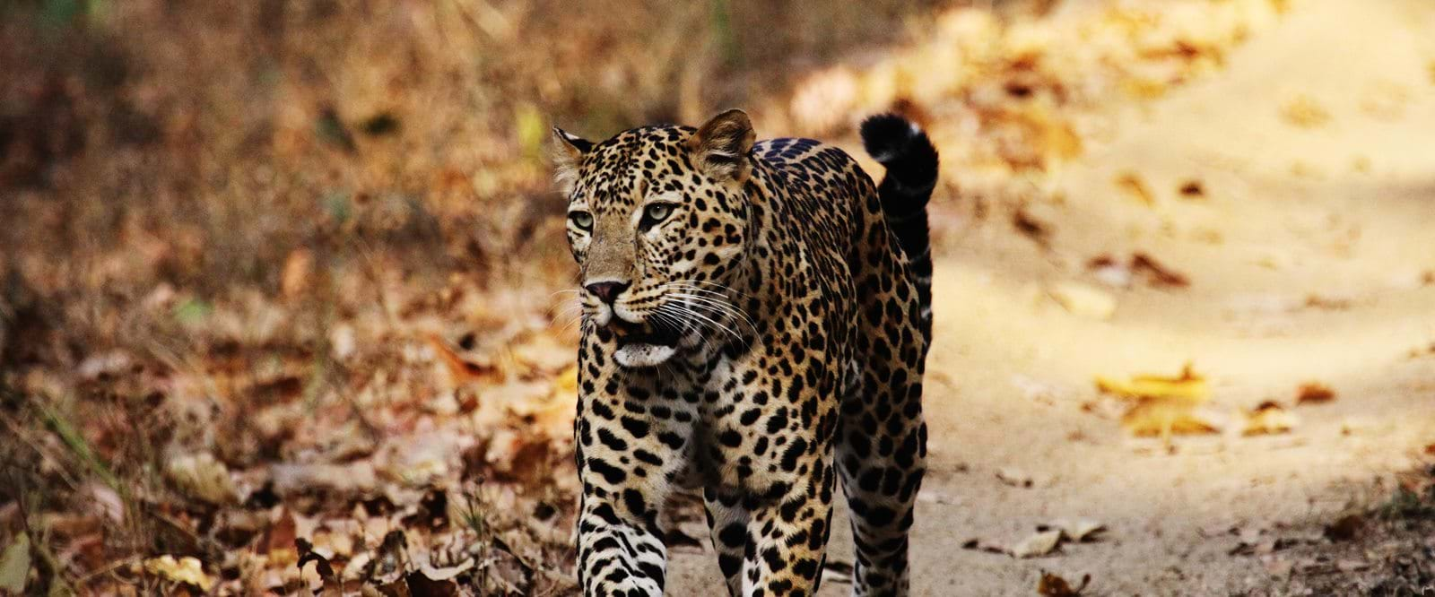 Safari, leopard, Indian leopard, india