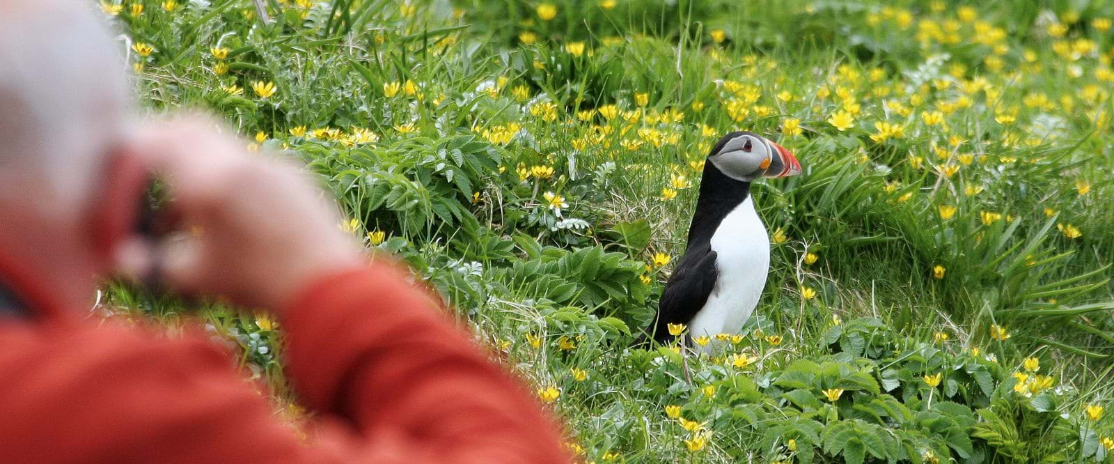 Close encounters with puffins