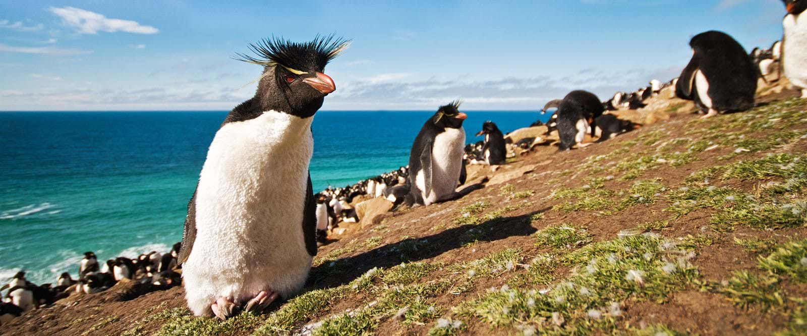 Rockhopper penguin, the Falkland Islands