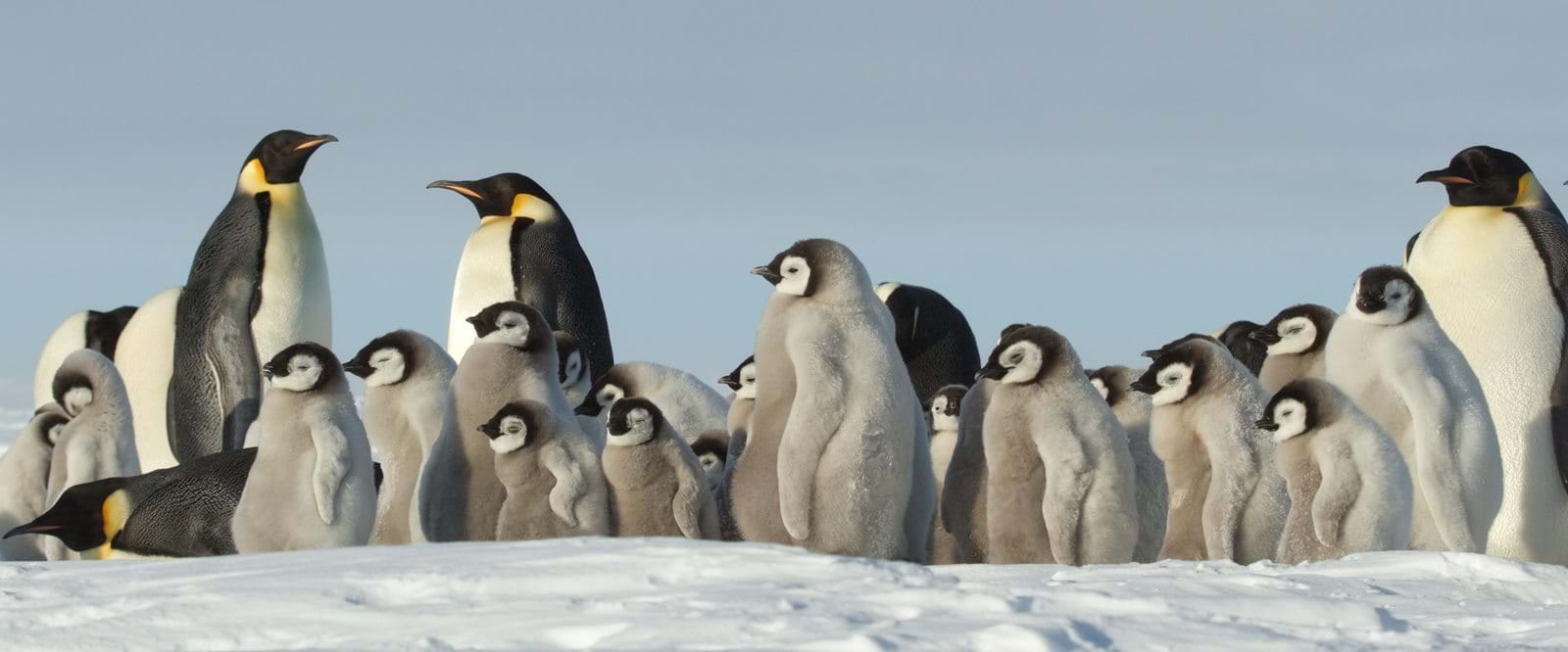 Rookery, Emperor Penguins