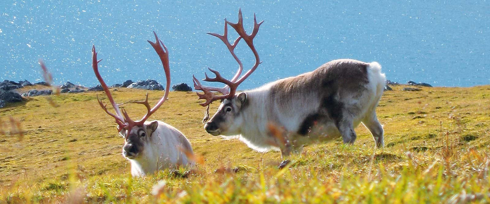 Svalbard, expedition, Cruise, Arctic, Reindeer