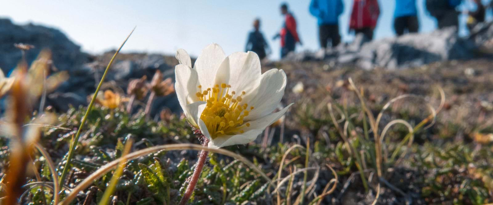 Svalbard, expedition, Cruise, Arctic flower