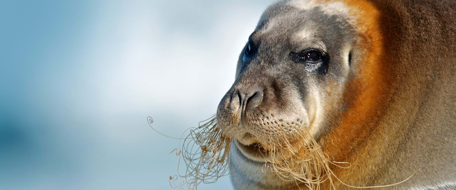 Artic wildlife, bearded seal