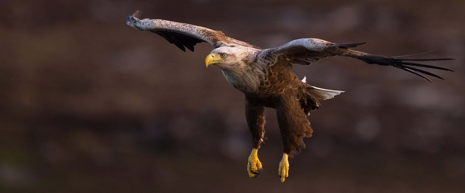 sea eagle, eagle, norway,
