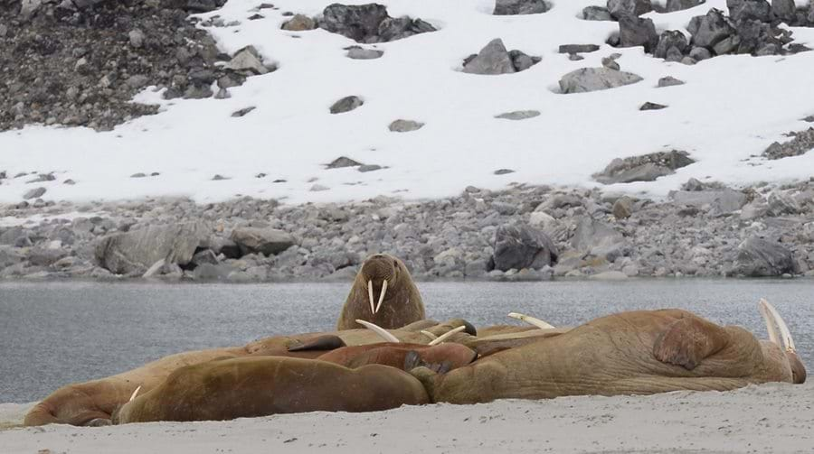 Walruses, svalbard, wildlife, wilderness, arctic, expedition