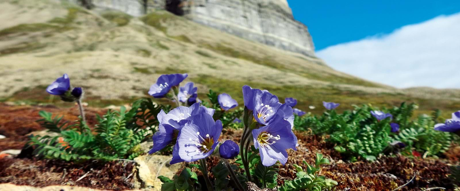 Boreal Jacob's ladder, Svalbard, plants in the Arctic