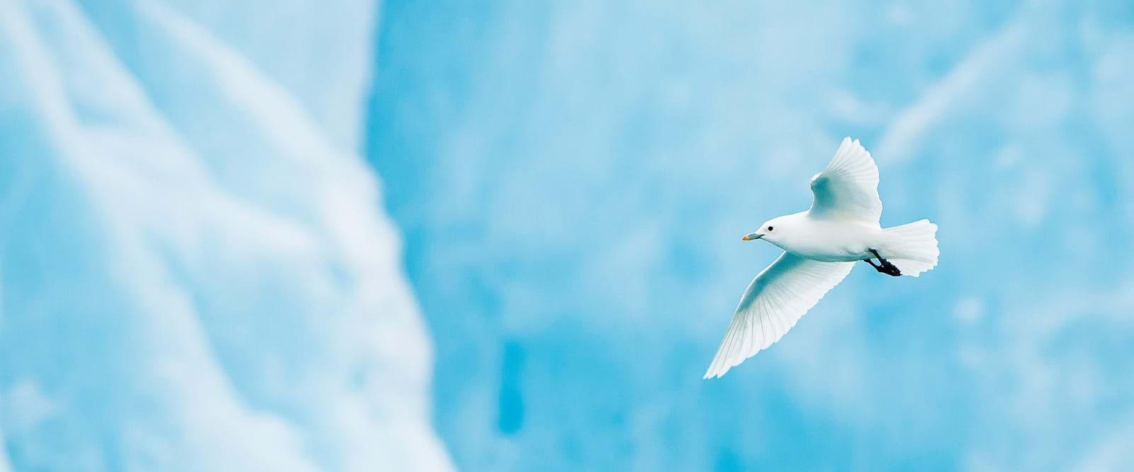 Ivory gull, Svalbard, birds in the Arctic, Arctic cruise