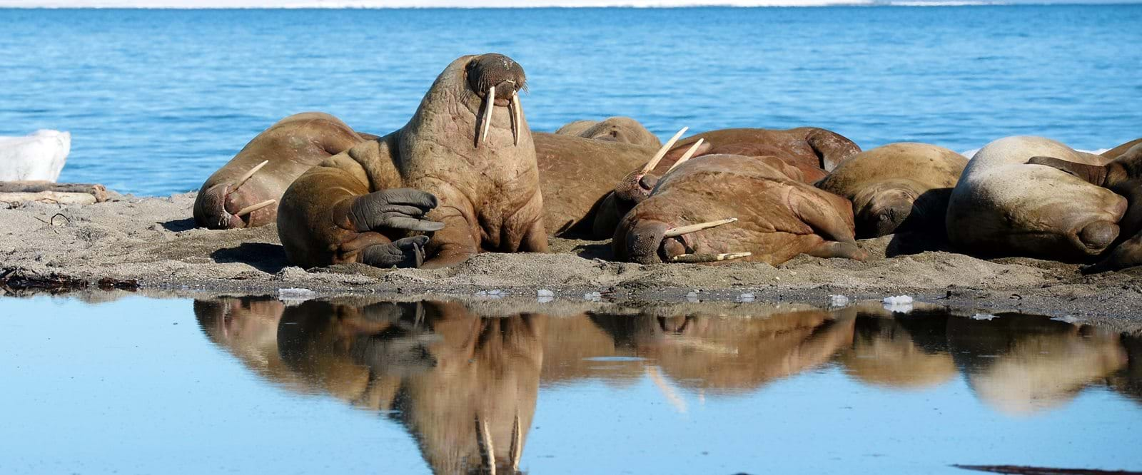 Walrus, Svalbard, Arctic cruise, expedition cruise