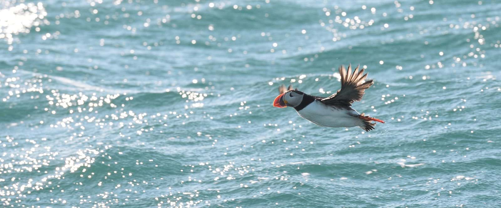 Puffin, Svalbard, Arctic cruise, expedition cruise, polar expedition