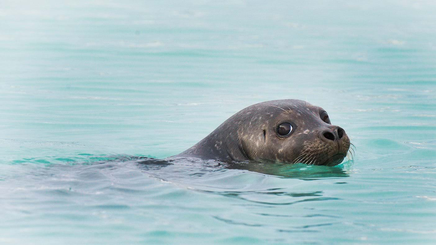 Harbour seal, Svalbard