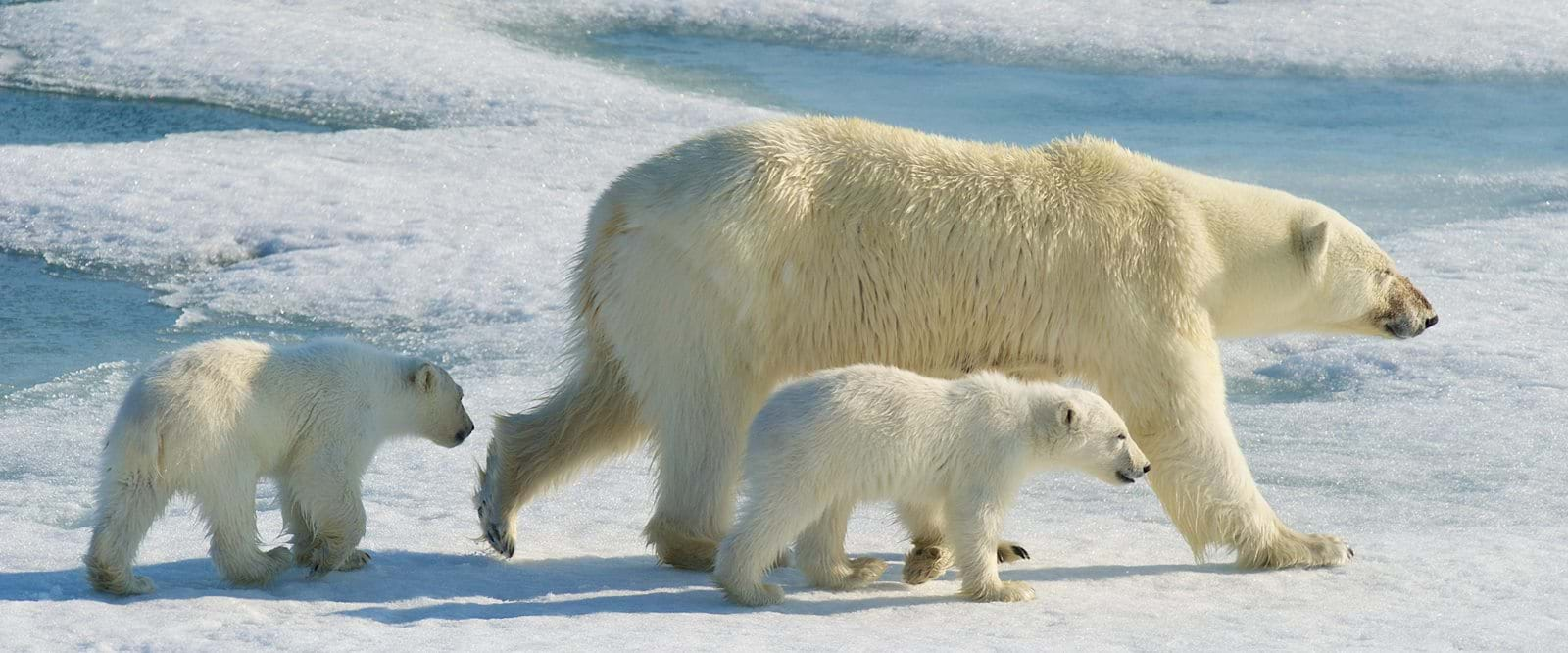 polar bear, cubs