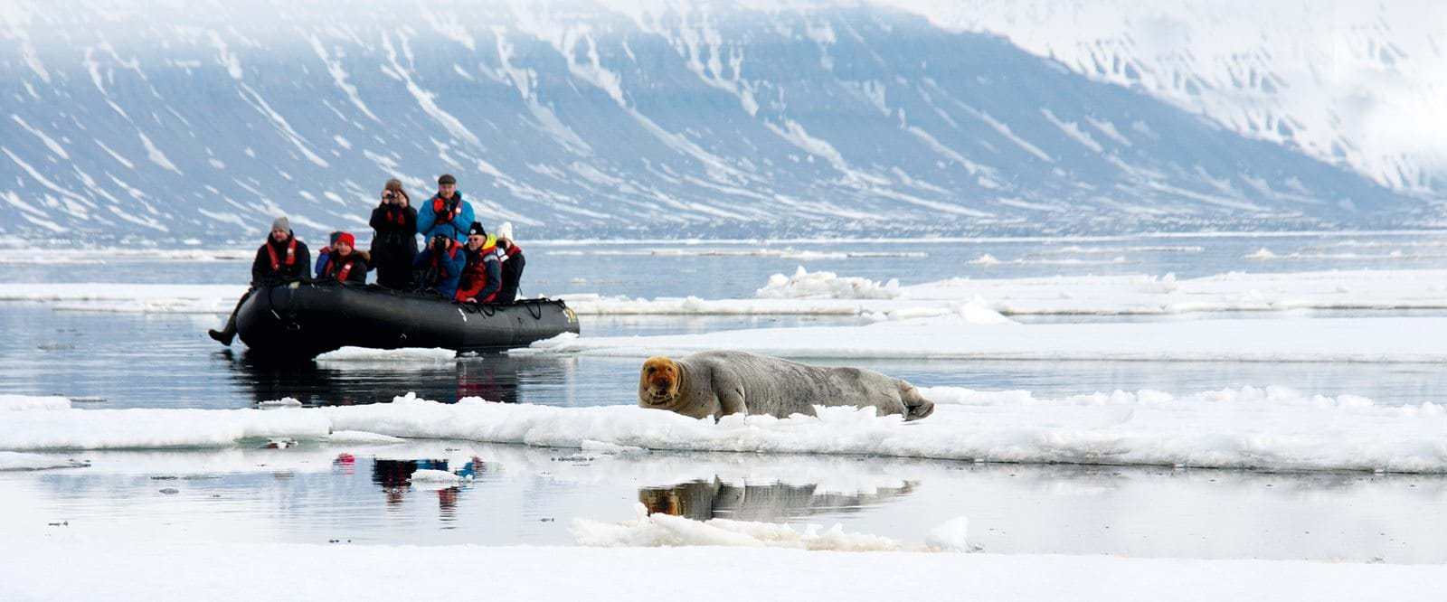 encounter with bearded seal, Svalbard, Zodiac