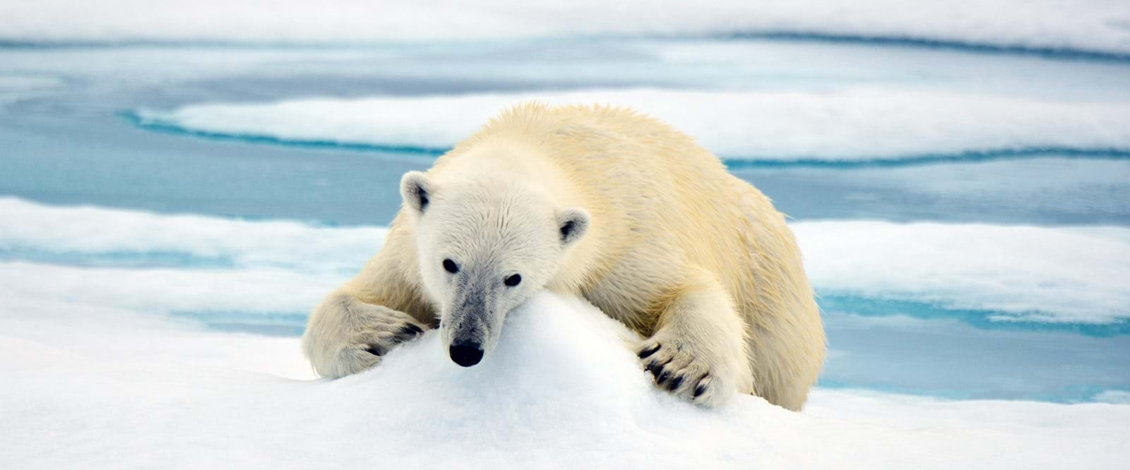 Polar bear, Svalbard, Arctic wildlife
