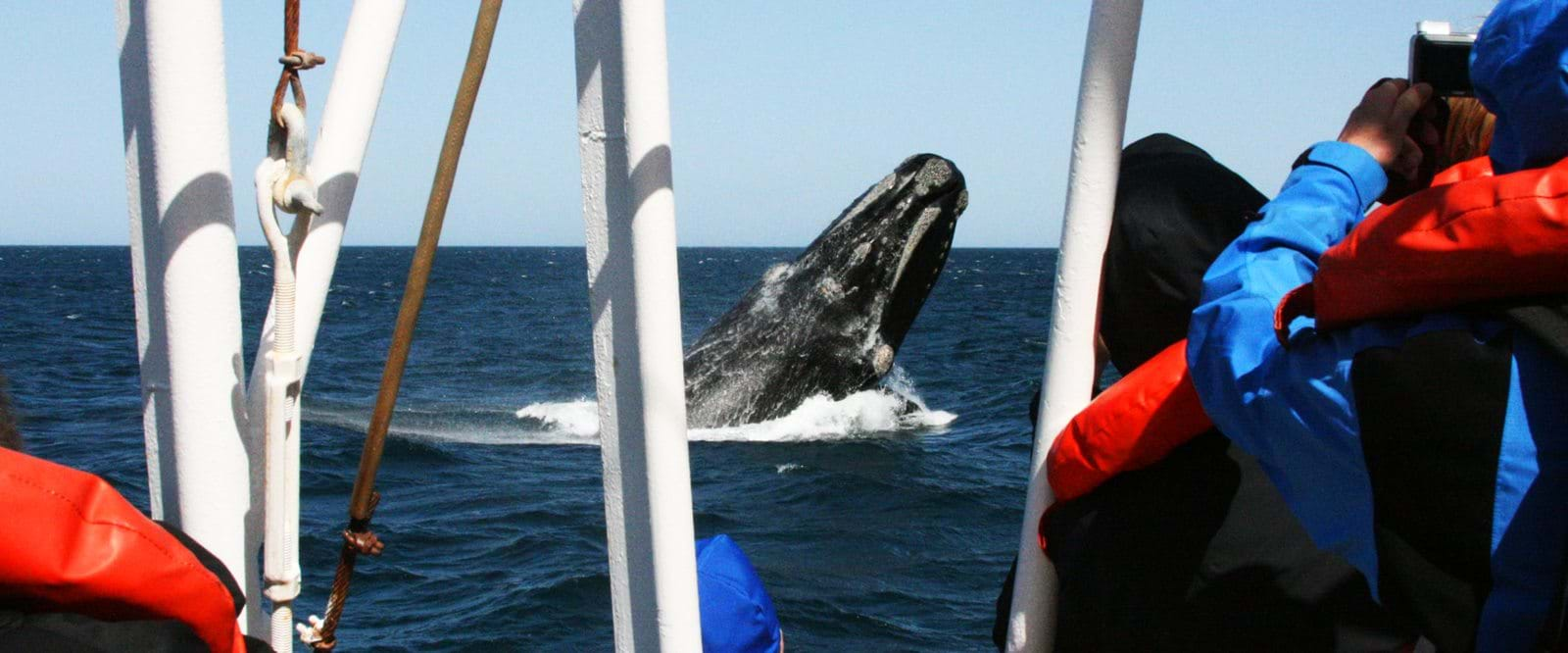 We hope to see the magnificent southern right whale