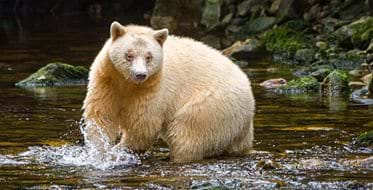"The rare and mythic ""spirit bear"""